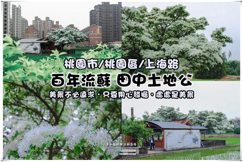 桃園上海路百年流蘇花【桃園景點】|遠看像舞獅的人間四月雪 @黃水晶的瘋台灣味